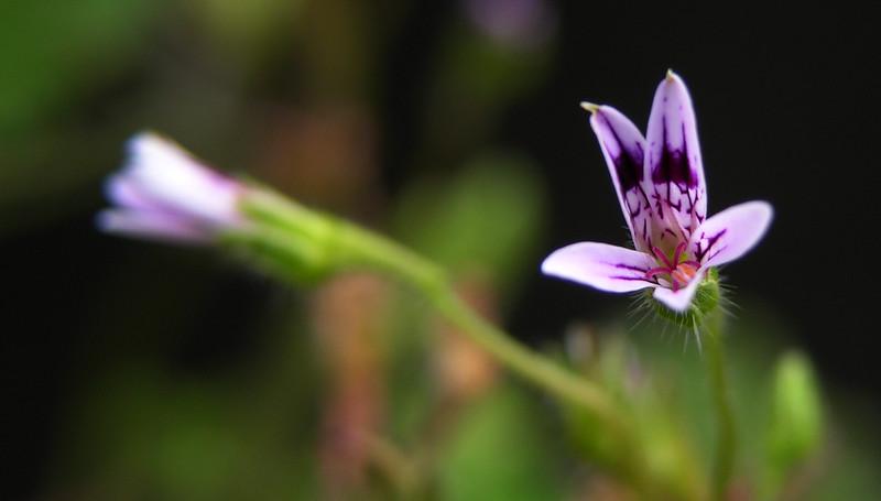 Pelargonium iocastum flower