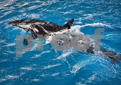 its-an-orca-last-killer-whale-is-born-at-a-seaworld-park