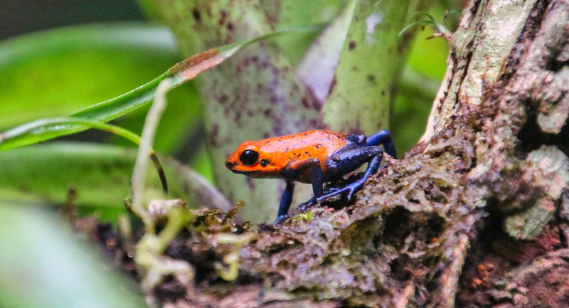 Blue Jean Frog in Costa Rica