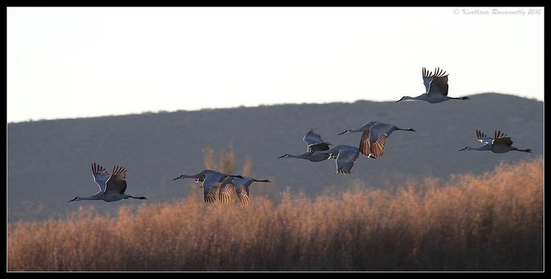 Sandhill Cranes, Bosque Del Apache, Socorro, New Mexico, November 2010