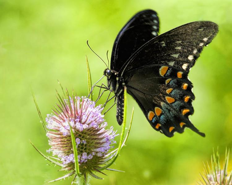 07-terim-a-bugs-sipping_swallowtail_7_20141019_2042643484.jpg