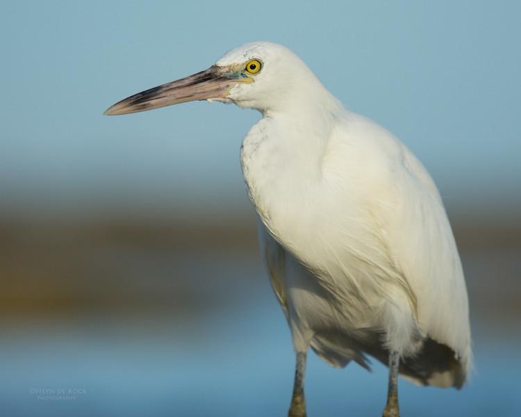 Eastern Reef Egret, Lady Elliot Island, QLD, Dec 2015-2.jpg