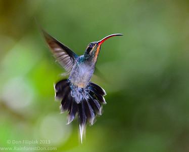 Birds - Central America