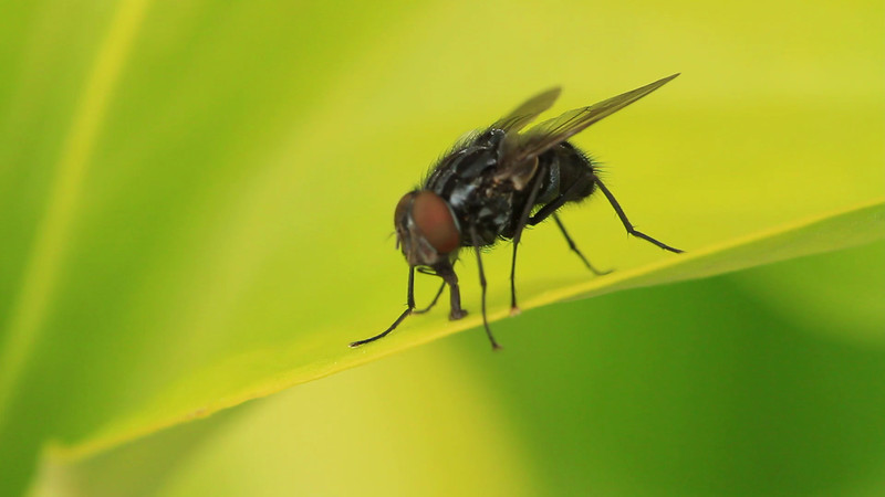 Fly foraging on Pitcher Plant