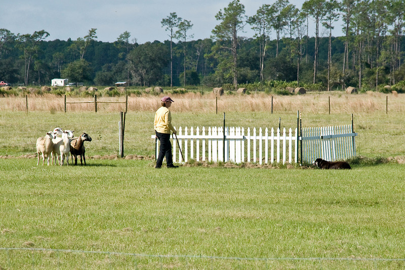 #403 (Saturday) Gum Slough Gyp, a Border Collie, took 1st place in the Course A, Intermediate level, with a score of 82.5 and 3:49 minutes.  Gyp also finished her title for the Intermediate level.  She is owned by E L Adams & M J williams.