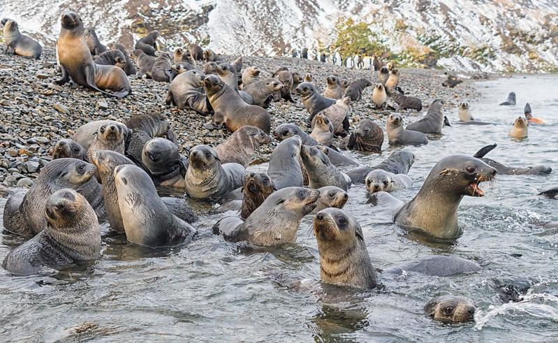 Seals_Fur_Stromness_South Georgia-14.jpg