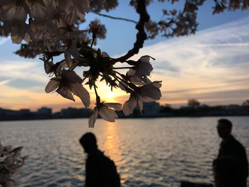 Cherry Blossoms at Sunrise-22.jpg