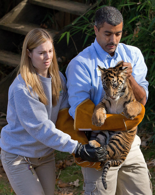 """. A three-month-old Sumatran tiger cub named \""""Bandar\"""" is carried toward the tiger exhibit moat by Craig Safoe, right and Leigh Pitsko for a swim reliability test at the National Zoo in Washington, Wednesday, Nov. 6, 2013. (AP Photo/Manuel Balce Ceneta)"""