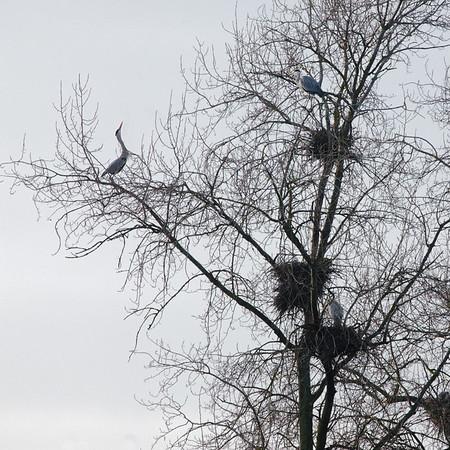 Héron de Loire en hiver