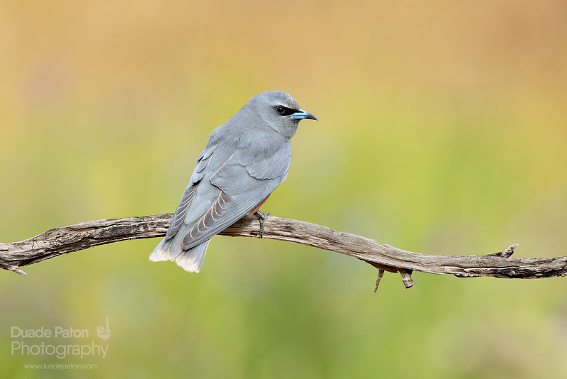 White-browed Woodswallow - Female