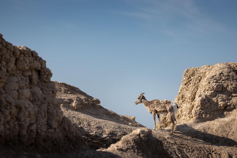 sheep in the rocks in the Badlands-3117.jpg