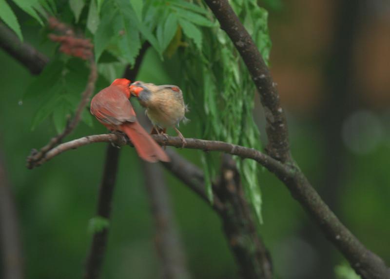 cardinalkiss.jpg