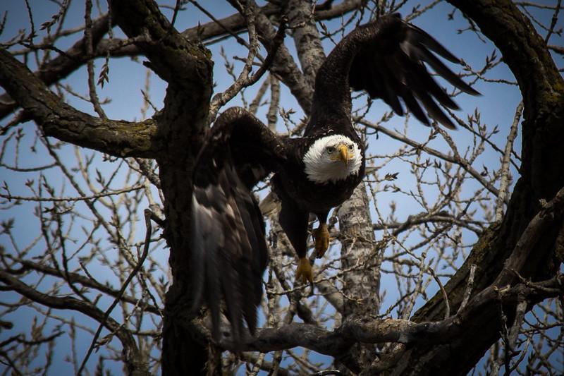 Eagle flying-7061.jpg