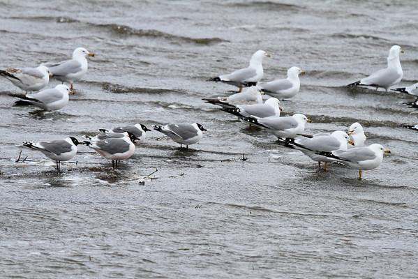 Gulls-Terns