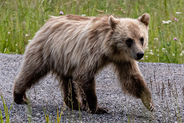 7-21-20 Blonde Grizzly Bear Family - Mom & 2 Cubs