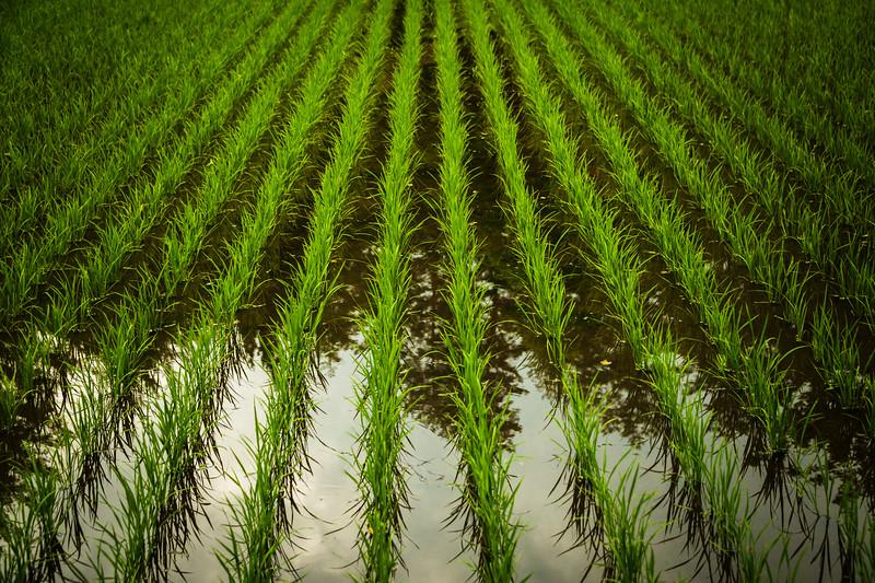 The Simplicity of Rice Paddies
