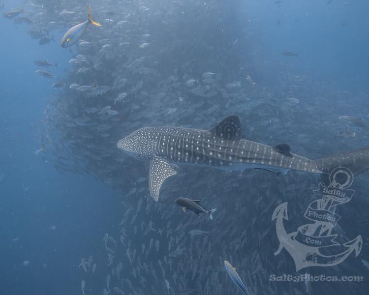 whalesharkjacks.jpg