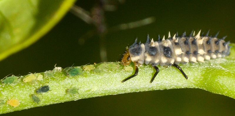 A ravenous ladybird beetle larva (Coccinellidae) feeds on aphids in Thailand.