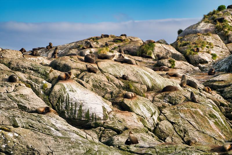 Fur Seals on Sea Rock