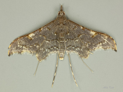 Tineodidae Gallery