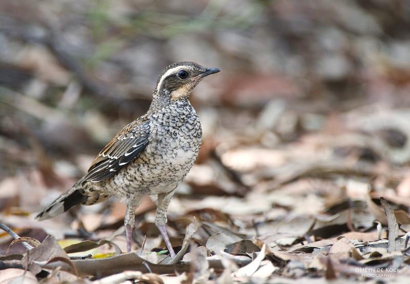 Spotted Quail-thrush, Juv, Yengo NP, NSW, Aus, Mar 2012.jpg