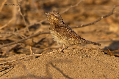 Ground Dwelling and Desert Birds