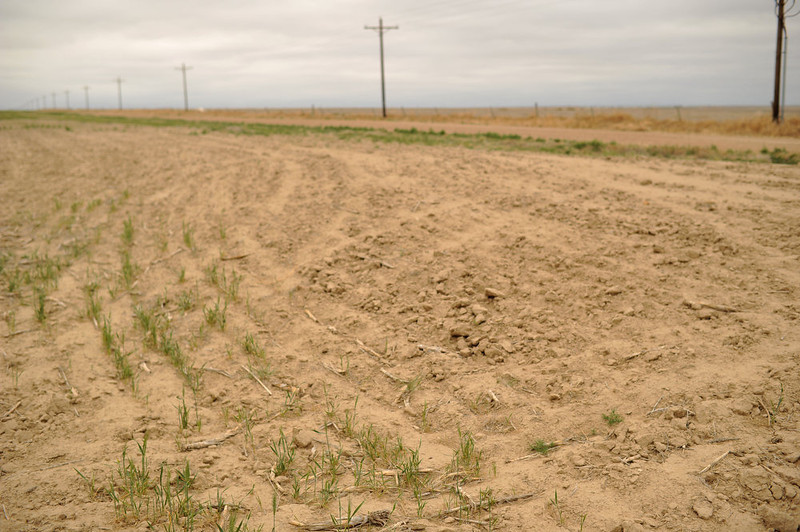 . A wheat field damaged by drought in Lamar, Colorado on June 5, 2013. (Photo By Hyoung Chang/The Denver Post)
