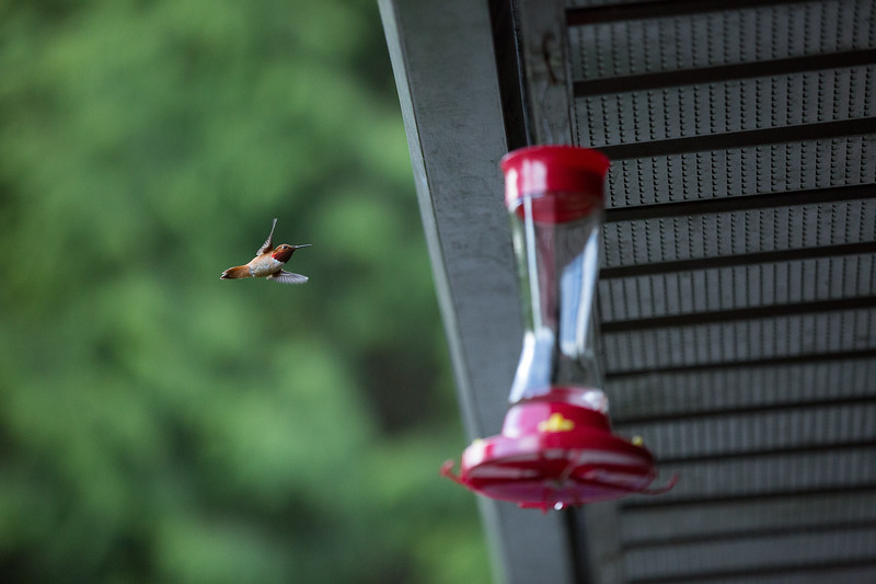 humming bird (38 of 55).jpg