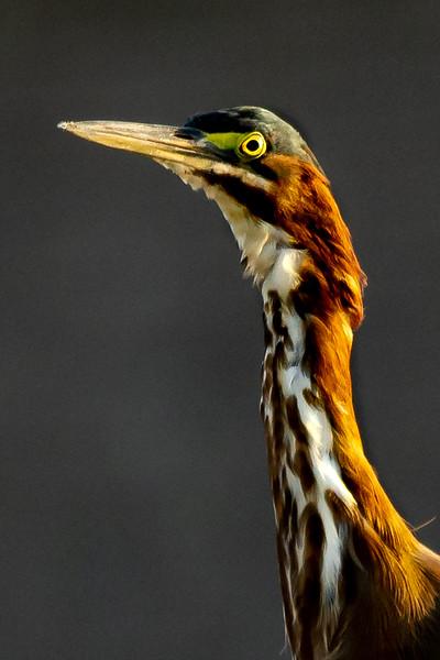 Green Heron-00049.jpg