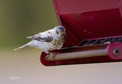 LEUCISTIC HOUSE FINCH