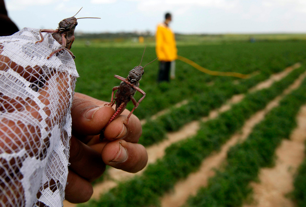 . A Palestinian farmer displays locusts at a farm in Khan Younis the southern Gaza Strip March 5, 2013. Palestinian officials said locusts had not hit Gaza in several decades and numbers of locusts that reached Gaza on Tuesday were small but the Agriculture Ministry said they have taken all necessary steps to fight it if larger numbers hit the Gaza Strip. REUTERS/Ibraheem Abu Mustafa