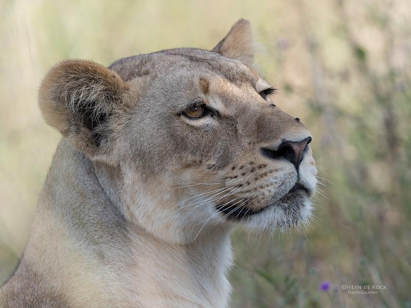 African Lion, Savuti, Chobe NP, Botswana, May 2017-14.jpg