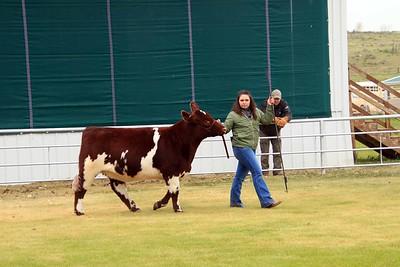 Breeding Heifers Class 6 & 7