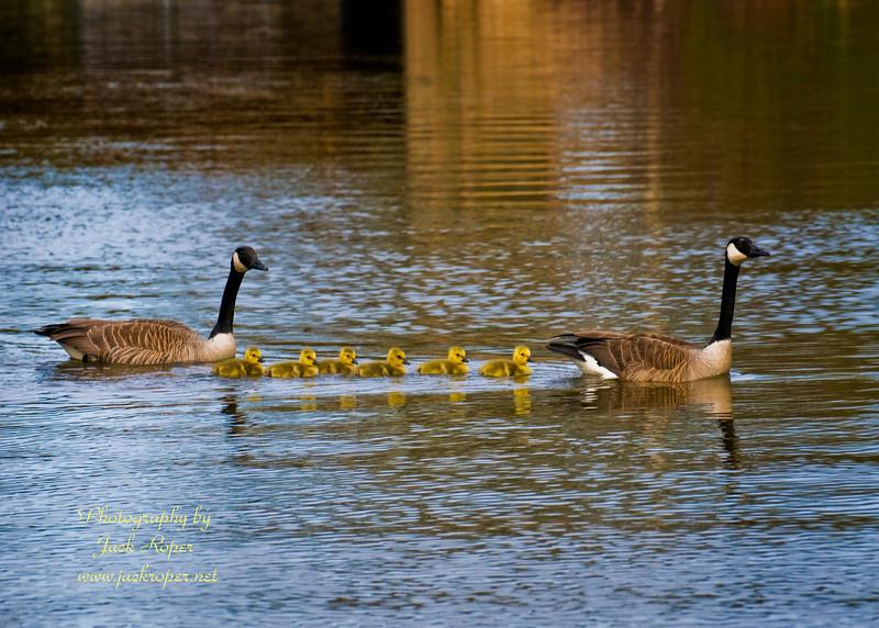Baby geese  low .jpg