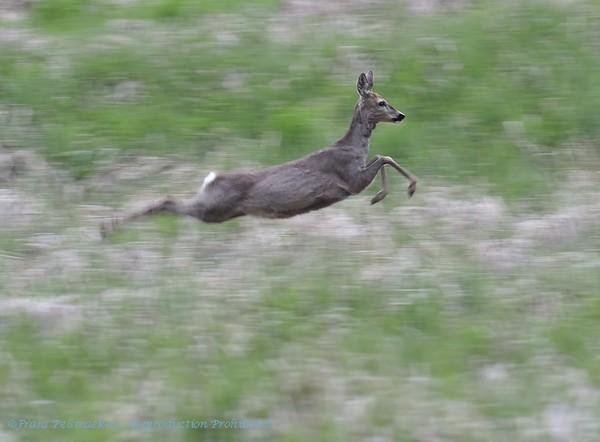 Ree; Capreolus capreolus; Roe deer; Ree; Reh; Chevreuil