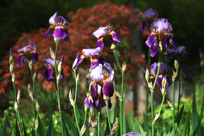 Old Fashioned Iris from Diana Hillygus
