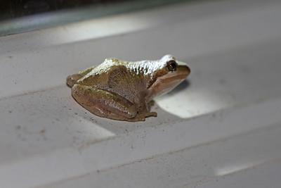AMPHIBIANS: Hylidae (Treefrog Family)
