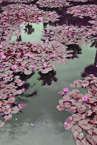 Lilies in Marrakech~3230-1.