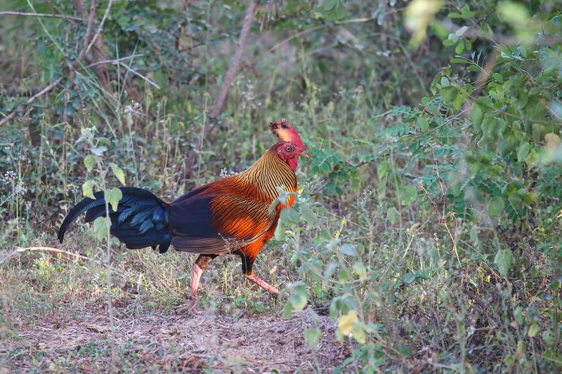 Sri Lankan Junglefowl (Gallus lafayettii)