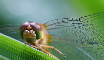 Dragon Flies and Damselflies