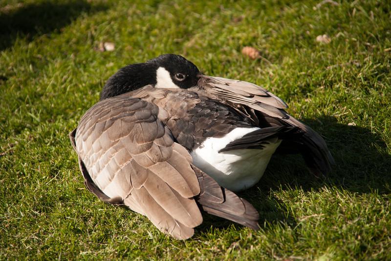 Peek-a-Boo Goose at Fairmont Jasper Lodge