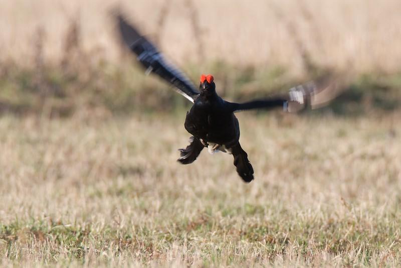 Black Grouse (male) in flight from front / Rubeņa gailis lidojumā