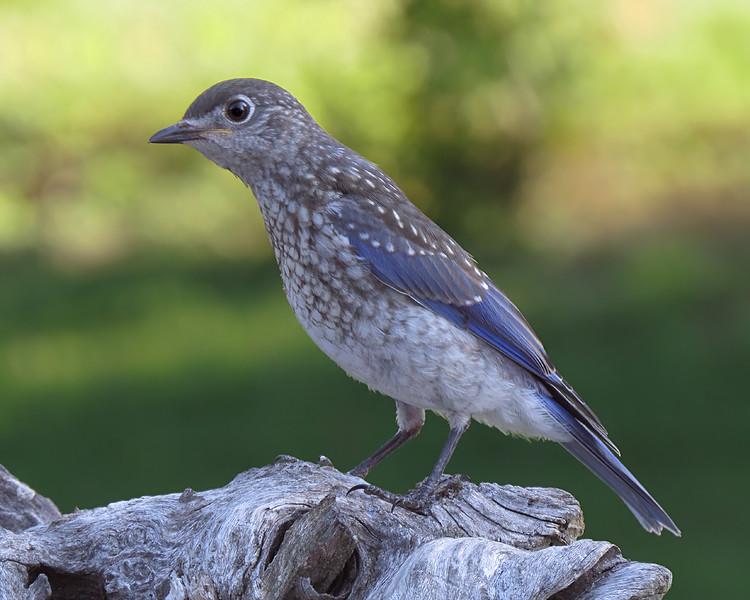 sx50_fledgling_bluebird_boas_108.jpg