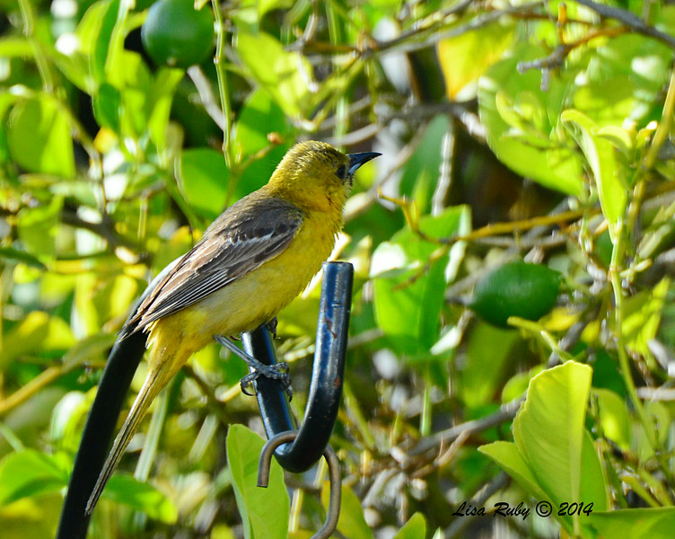 Hooded Oriole, First Year Male - 6/24/2014 - Backyard Sabre Springs