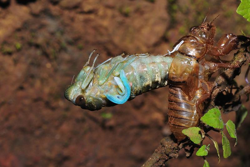 Molting-Cicada-02.jpg