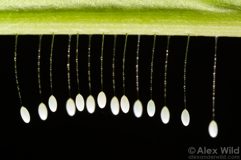 Freshly-laid lacewing eggs hang from silk stalks.  Armenia, Belize