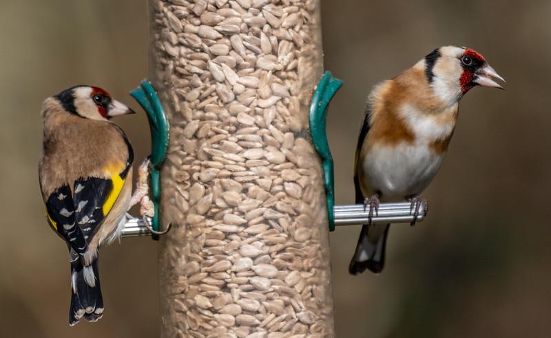 Goldfinch - Carduelis carduelis-6.jpg