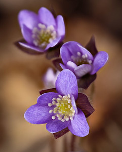 #vermont #vermontbyvermonters #spring #flowers #hepatica #april #purple #nature #woods