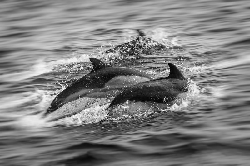 Dolphins, Santa Barbara Channel