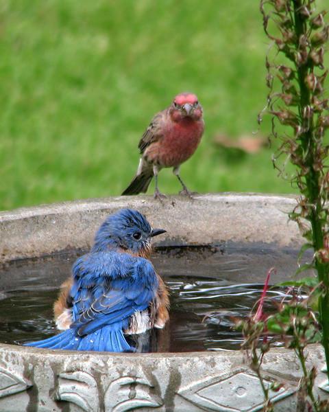 bluebird_bath_house_finch_0264.jpg